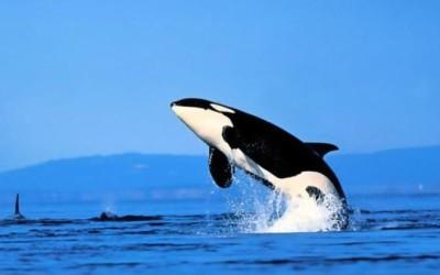 13 видов китов в реке Св. Лаврентия